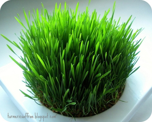 Sabzeh_Wheat Sprouts